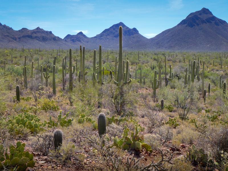 Dozens of cactus species thrive in the diverse environment of Arizona's Sonoran Desert.