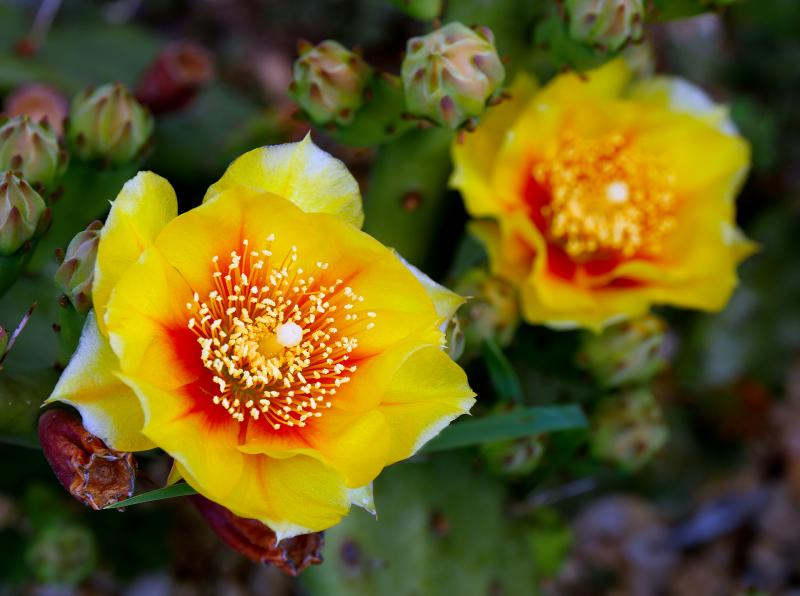 <i>Opuntia humifusa</i> blooms in PA in late June and early July.