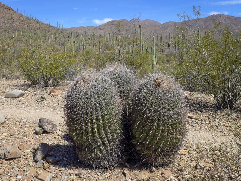 <i>Ferocactus wislizeni</i>:  The Arizona barrel cactus can grow to 6 feet high. Thick curved spines protect the plant from herbivores, provide shade, and collect and funnel moisture from the air toward the base of the plant.