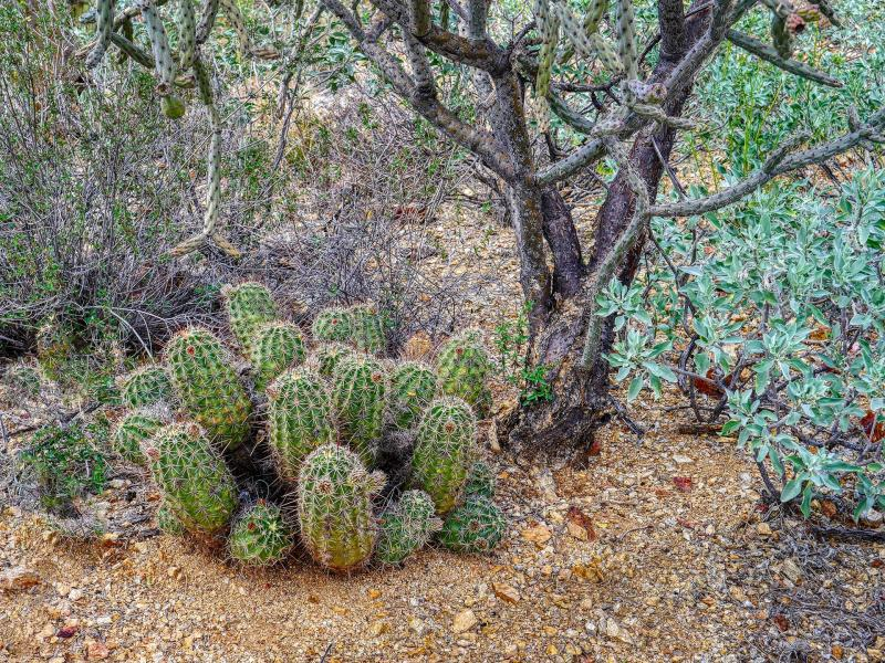 <i>Echinocereus triglochidiatus beneath Cylindropuntia fulgida</i>: Most desert plants eventually tolerate full sun, but youngsters owe their survival to the shade and shelter of larger desert dwellers.