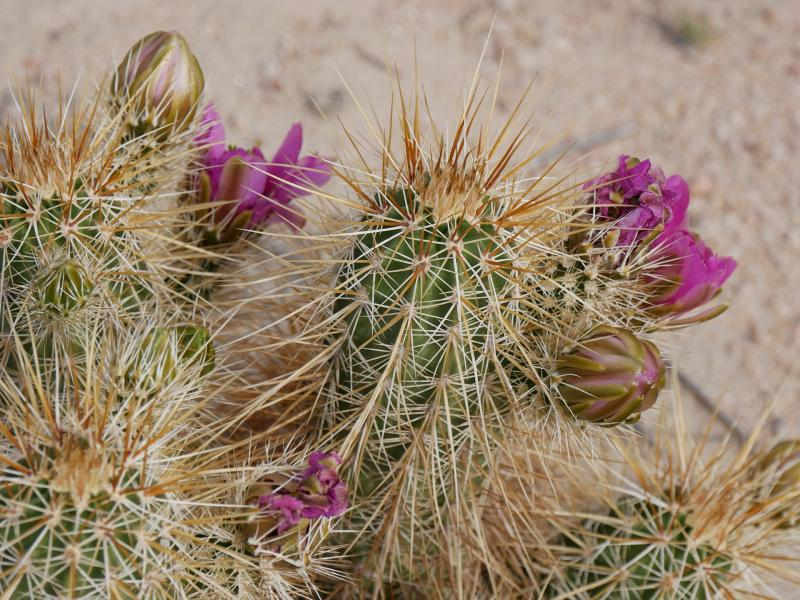 """<i>Echinocereus engelmannii</i>: This """"hedgehog cactus"""" is relatively common in extreme southern Arizona, particularly in Organ Pipe National Monument."""