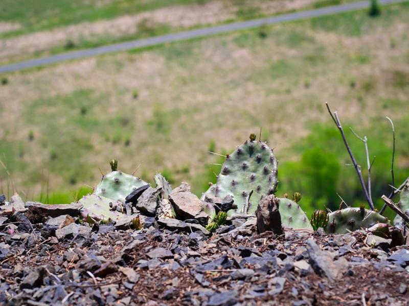 Flower buds begin to form in mid-May on the Eastern Prickly Pear cactus.